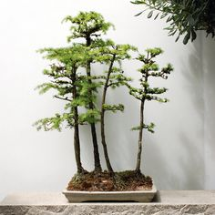Bonsai International Club member, will lead a tour about the different styles of penjing. Description from blog.oregonlive.com. I searched for this on bing.com/images
