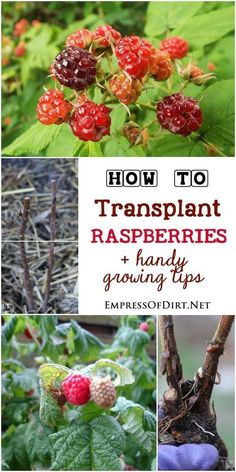 How to transplant raspberries plus tips for growing this delicious summer fruit in the home garden.: