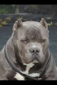 Wow.. beautiful pitbull ♡ He looks so annoyed. Almost like someone is talking about how scary pitbulls are... :D