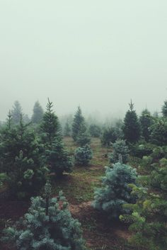 The way the fog lifts and mists off of dewy evergreen trees at sunrise.