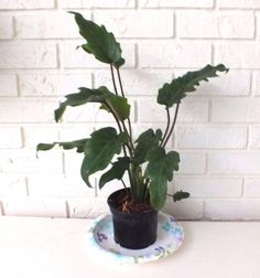 Plant Aroid Philodendron Xanadu Houseplant