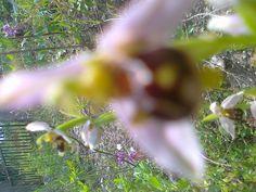 orkide karadenizde   salep