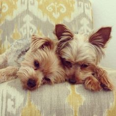 Aw..sweet like my brother and sister yorkies pals till the end