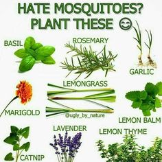 Nice Plants To Keep Mosquitos At Bay