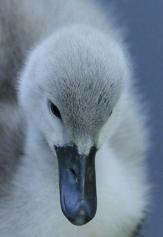 Beautiful. duckling. (correction: swan!)