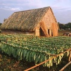 Tabakfarm Westkuba / Vorbild Tabakplantage