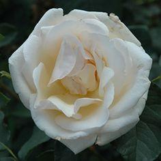 'Royal Smile' Rose