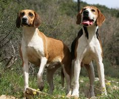 anglo-french hound photo | Anglo-French Small game hunting | The Life of Animals