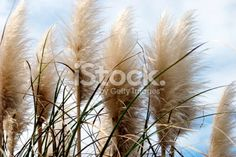 'Toitoi' or 'Toetoe' Grass Heads Royalty Free Stock Photo Image Now, Wedding Stuff, Grass, Royalty Free Stock Photos, Plants, Photography, Beautiful, Photograph, Grasses