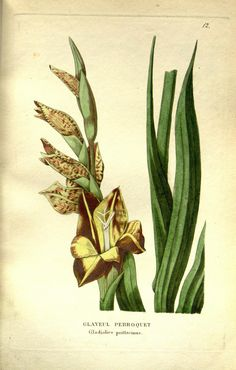 - Annales de flore et de pomone : - Biodiversity Heritage Library Old Book Pages, Gladiolus, Art Clipart, Picture Collection, Botanical Illustration, Natural History, Wall Collage, Beautiful World, Clip Art