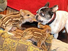French buldog steps in to care for orphaned piglets.