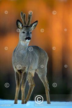 Mladý srnec se sametovým parožím v západu slunce  Roe deer (Capreolus capreolus) buck with velvet antlers in snowy field at sunset Bucky, Kangaroo, Animals, Outdoor, Animales, Outdoors, Animaux, Kangaroos, Animal
