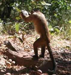 Nut-cracking monkeys use shapes to strategize their use of tools