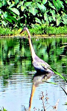 For a nature escape, not too far from the center of Orlando, head to Lake Apopka, when I saw this Blue Heron.