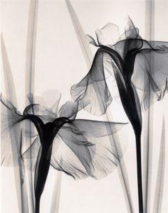 Judith McMillan, Optic Exploration: Iris Kaempferi