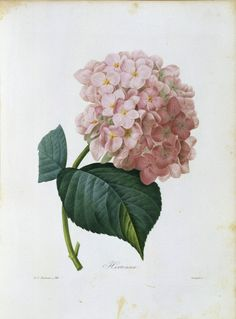 Items similar to Vintage French Pink Hydrangea Hortensia Botanical Canvas Art Print - Wall Decor - Multiple Sizes Starting at USD on Etsy Vintage Botanical Prints, Vintage Art Prints, Botanical Drawings, Art Floral, Floral Wall, Hortensia Hydrangea, Hydrangea Flower, Hydrangea Macrophylla, Illustration Blume