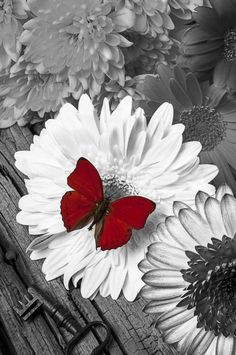 Color splash, red, butterfly, flower, key