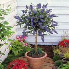 Standard Buddleja - 1 tree Buy online order yours now
