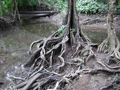 Raízes de  árvore característica do ecossistema encontrado na ilha de Cotijuba, região insular de Belém, estado do Pará, Brasil.  Fotografia: Marcelo Cauré no SkyscraperCity.