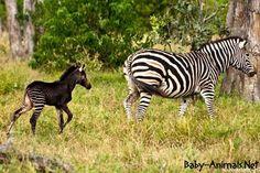 A black baby zebra – Africa Geographic – albino animal Beautiful Horses, Animals Beautiful, Melanistic Animals, Zebra Pictures, Rare Animals, Strange Animals, Zoo Animals, Wild Animals, Baby Zebra