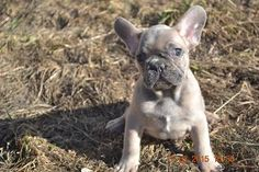 Blue fawn French bulldog imported from Russis Blue Fawn French Bulldog, Dogs, Animals, Cute Puppies, Animales, Animaux, Pet Dogs, Doggies, Animal