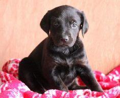 Spike   Doberman Pinscher Mix, Lab Mix Puppy For Sale   Keystone Puppies Lab Mix Puppies, Black Lab Puppies, Puppies For Sale, Doberman Puppy Red, Red Doberman Pinscher, Labrador Retriever, Children, Dogs, Cute