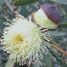 EUCALYPTUS burracoppinensis. A small tree from the central wheat belt of Western Australia; rough barked trunk is complimented with a lovely smooth grey bark on the branches. Flowers appear in late winter through to December. The green yellow bud caps open to a creamy yellow flower up to 5cm across. Not often cultivated which is a pity as it is a great honey making tree attracting the birds and bees when in flower. A good windbreak tree.