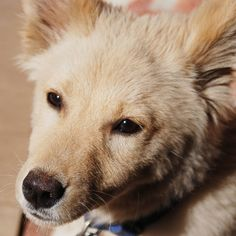 Monalisa - Pomeranian dog    Like, repin, share! :)