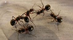 TIL of 'thief ants' - these are very small ants that raid food supplies of larger ants and then quickly escape the 'area of crime' through tunnels that are too small for the bigger ants to enter. Termite Control, Pest Control, Different Types Of Ants, Household Bugs, Queen Ant, Big Ant, Sarra Art, Fire Ants, Rats