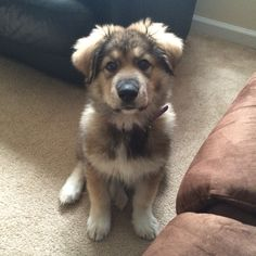 Image of great pyrenees german shepherd mix Puppies And Kitties, Dachshund Puppies, Baby Puppies, Kittens, Pyrenees Puppies, Great Pyrenees Puppy, Dog Cat Tattoo, Farm Dogs, Dog Cat