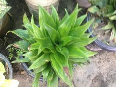 Plan Name : Draesing krish Plant Type : Indoor  Day Light :No  A/C :No Price : 550 BDT Height :0-2 feet