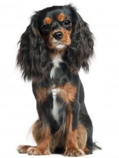 Cavalier King Charles Spaniel, 11 months old. Cavalier King Charles Spaniel, 11 months old, sitting in front. Cavalier King Spaniel, Cavalier King Charles Dog, King Charles Spaniel, Spaniel Breeds, Spaniel Puppies, Dog Breeds, Cute Animals, Spaniels, Happiness