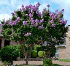 Muskogee Crape Myrtle.  Lavender Crepe with profuse blossoms.