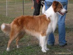 Coat Color in English Shepherds                                                                                                                                                      More