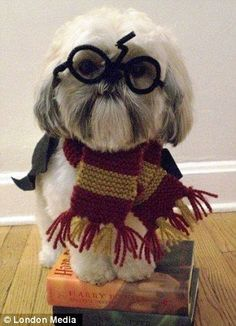 Shitzu Harry Potter @Elizabeth Lockhart Lockhart Goins- this is what I am going to do to your dog.