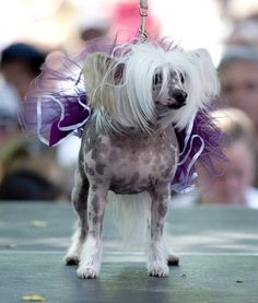 CHINESE CRESTED COUTURE