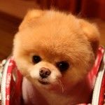 Boo Boo Boo The Pomeranian:  fufufu love u so much  http://www.boothedog.net/gallery-of-boo/