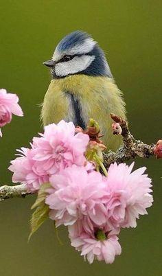 Blue Tit Bird ~ resting on cherry blossom branch