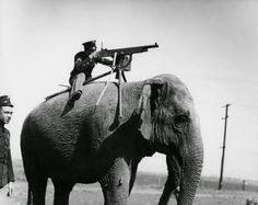 An American corporal aims a Colt M1895 atop a Sri Lankan elephant, 1914. The reason why the corporal is atop the elephant is a mystery but elephants were never a weapons platform adopted by the US Army. It's probably a publicity picture, not something the army would actually try to employ. The elephant would not respond well to the sound of that machine gun a few inches from his ears.