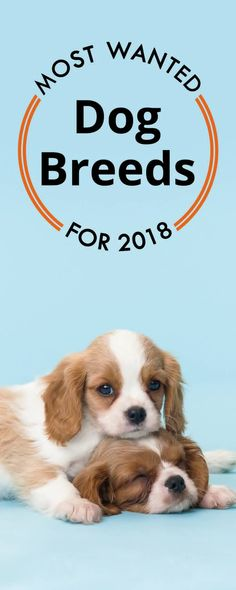 Dogs are an essential part of a family. Recently, there have been mixed breeds that continue to get cuter and cuter. See which ones will be the trending breeds of 2018.