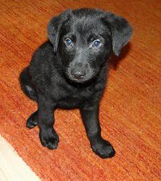 Loki, Labrador Retriever #Hund auf www.wid-pet.com - Tierportal & Hundemarke mit eigener Notfallseite