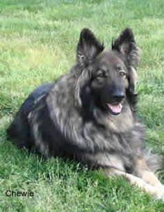 shiloh shepherd. Gentle, lower energy than german shepherds, and great with kids. This is the dog I want...but they're rare and cost like $1800 for a puppy :(