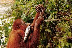 Du nouveau chez les orangs-outans : ils pêchent ! - National Geographic