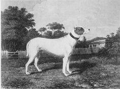 VENOM (EARLY BULL TERRIER)~1831 SKETCH