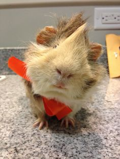 Paddy the guinea pig