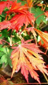 Japanese Acer Palmatum Japonicum Aconitifolium Tree, For Sale UK Acer Garden, Acer Trees, Acer Palmatum, Japanese Maple, Sale Uk, Early Spring, Bright Green, Red Flowers, Seeds
