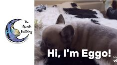 Hi I'm Eggo a blue fawn male French Bulldog! I will be ready to join my furever family by Feb. 9th! See more pics & videos! #FrenchBulldog #FrenchBulldogs #FrenchBulldogpuppy #FrenchBulldogpuppies #TheFrenchBulldog #cuteFrenchBulldogs #FrenchBulldogvideos #BlueFrenchBulldogs #BlueFawnFrenchBulldogs French Bulldog Prices, Blue French Bulldog Puppies, French Bulldog Names, French Bulldogs, Cheap Dog Beds, Faux Fur Bedding, Join, Videos, Animales