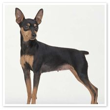 Chihuahua mix with miniature pinscher