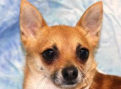 Petango.com – Meet Roy, a 2 years 4 months Pomeranian / Chihuahua, Short Coat available for adoption in COLORADO SPRINGS, CO