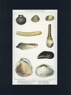 Vintage 1918 Natural History Print of Clams and Eible Mussels by thinaircreations on Etsy
